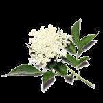 elder-flower-clip